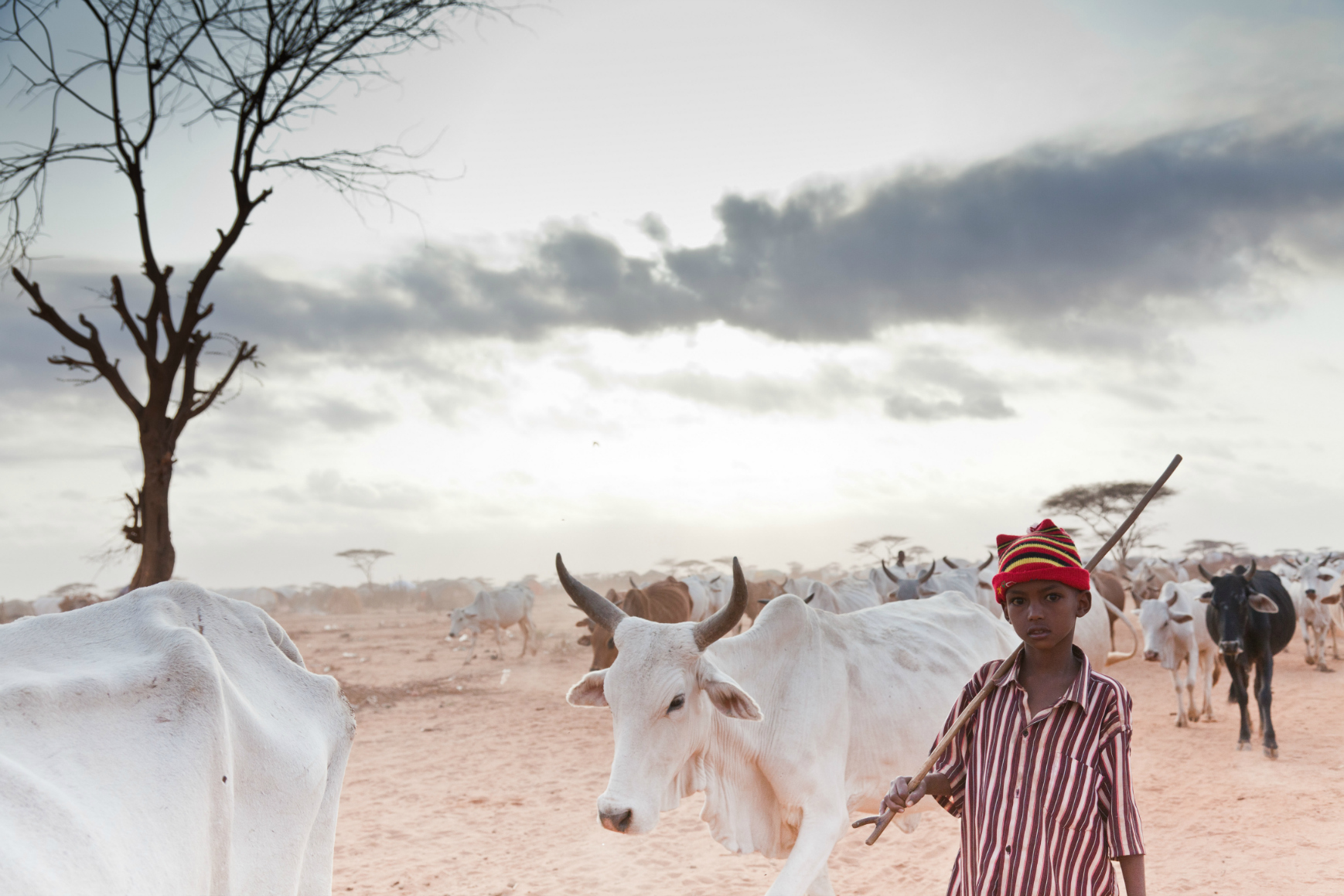 A young boy taking bone-thin cattle in search of pasture at the edge of Dagahaley refugee camp in Kenya. Many Somali refugees have lost their animals in the prolonged drought. Image:brendanbannon.com