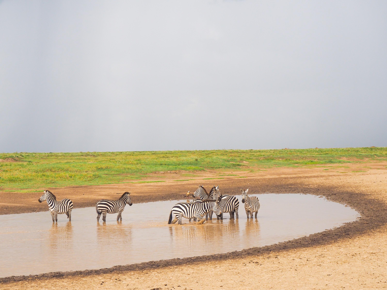 Zebras cooling off. <em>Steve Paulson (TTBOOK)</em>