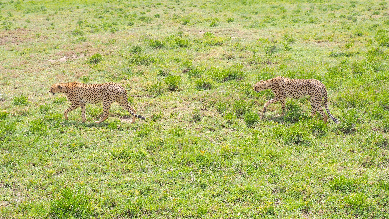 Cheetahs on the prowl. <em>Steve Paulson (TTBOOK)</em>