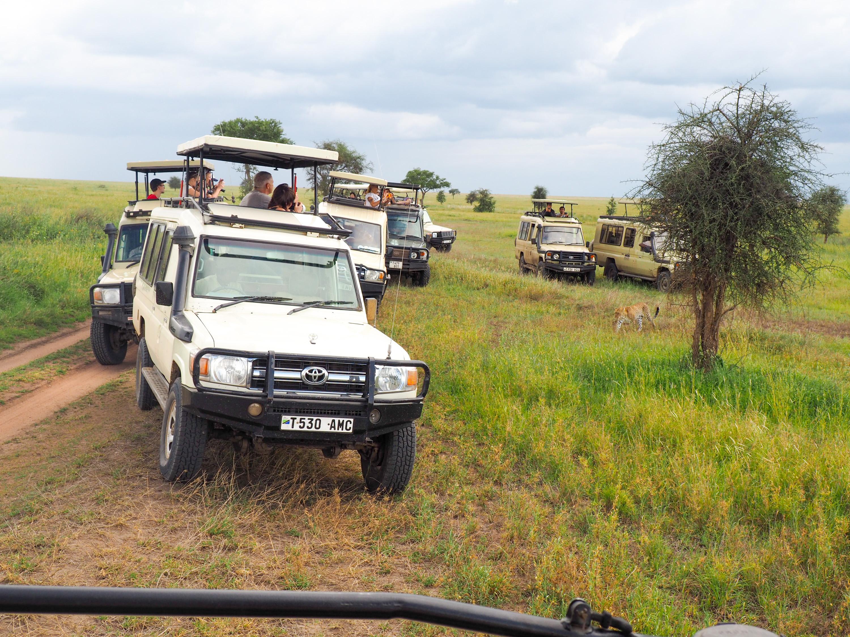 Whenever a leopard is spotted, the safari jeeps converge. <em>Steve Paulson (TTBOOK)</em>