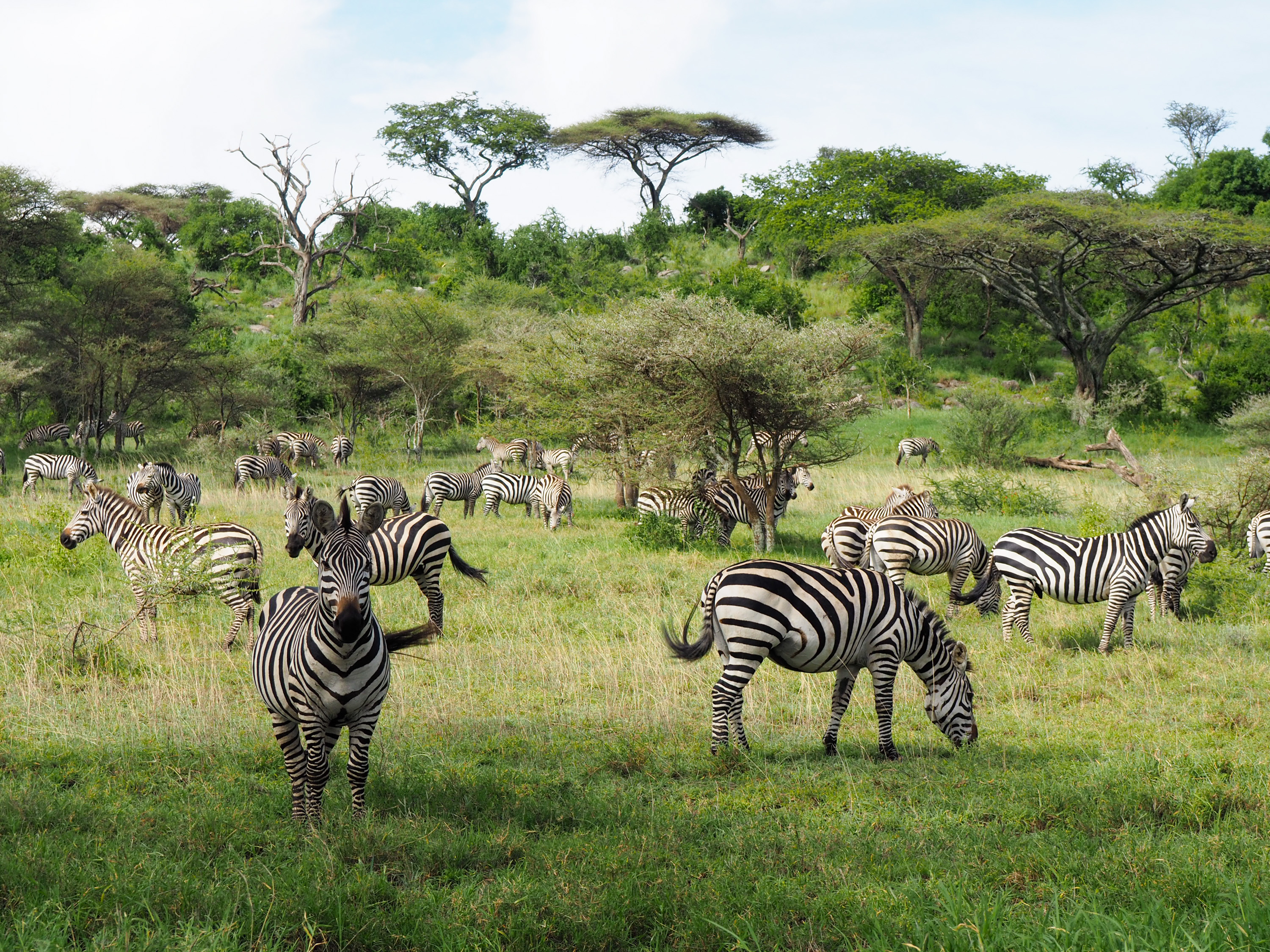 We came over one hill and saw hundreds of zebras. <i>Anne Strainchamps (TTBOOK)</i>