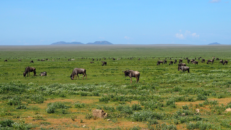 Nearly two million wildebeest migrate every year in the Serengeti. <em>Steve Paulson (TTBOOK)</em>
