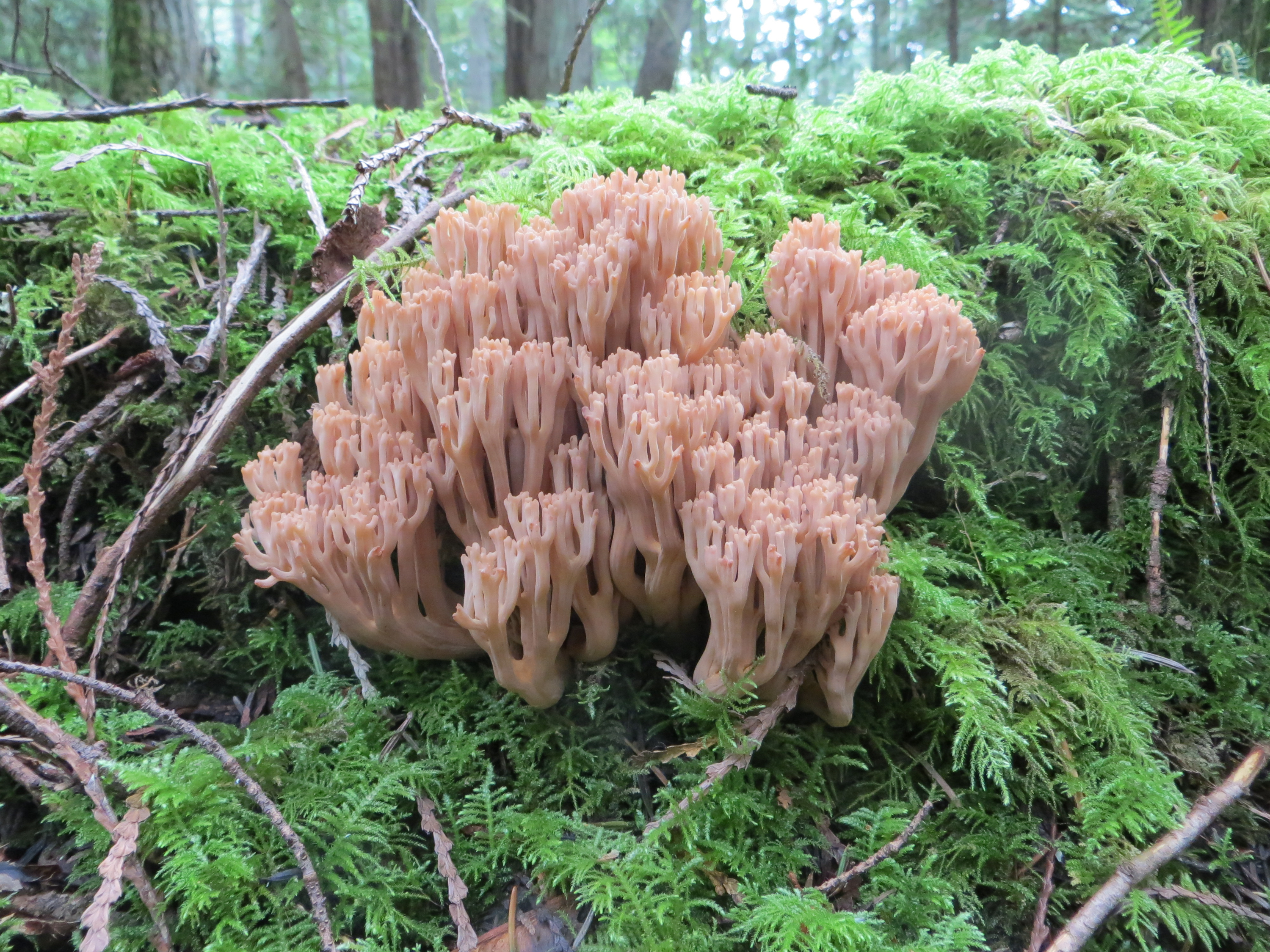 Coral mushrooms. <em>(Lawrence Millman)</em>