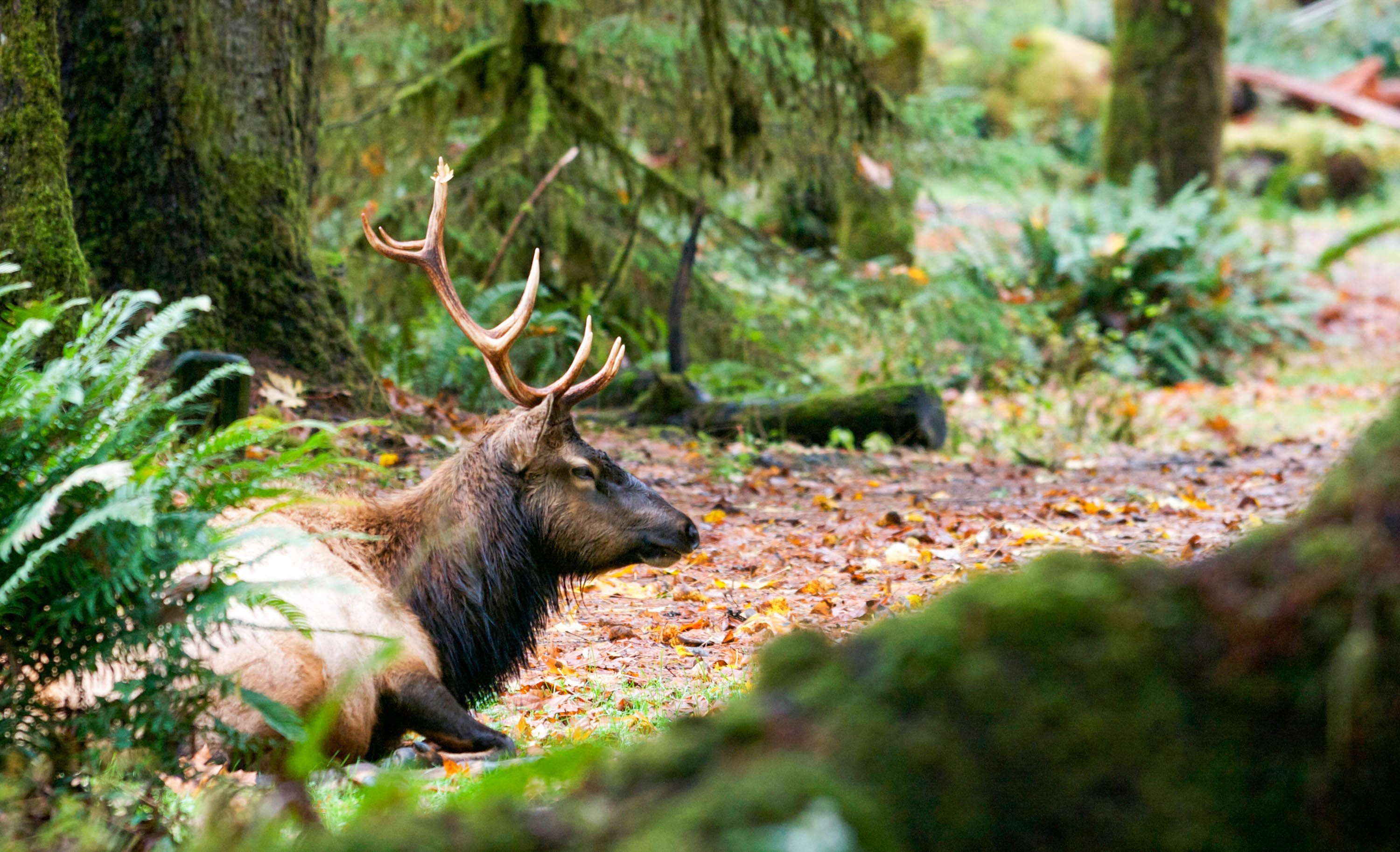 An elk at the Hoh River Trail campground in the Olympic National Park, wintertime. <em>Amanda Castleman©</em>