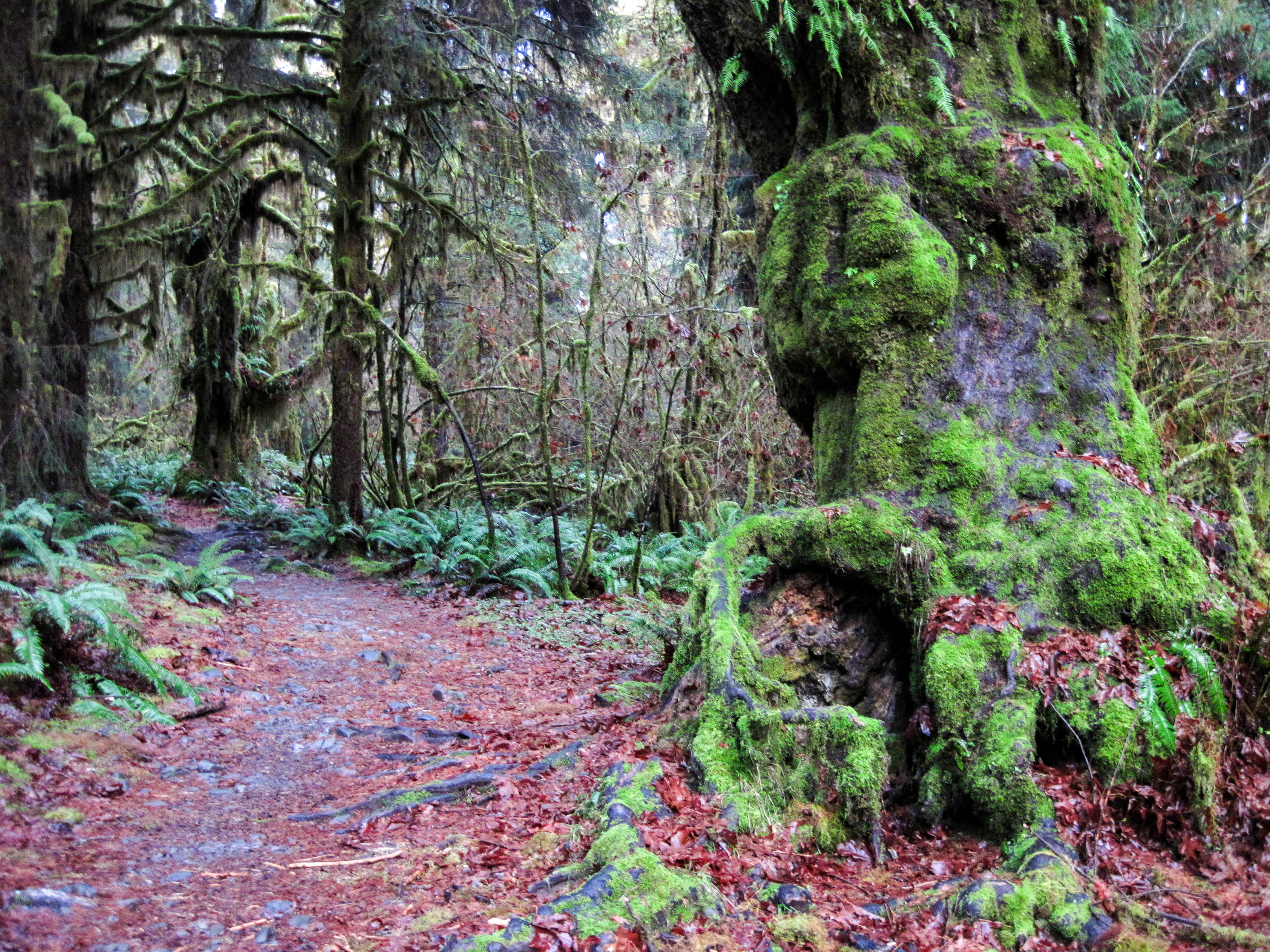 The temperate rainforest invites winter hikers to the Hoh River Trail in the Olympic National Park, Washington, USA. <em>Amanda Castleman©</em>
