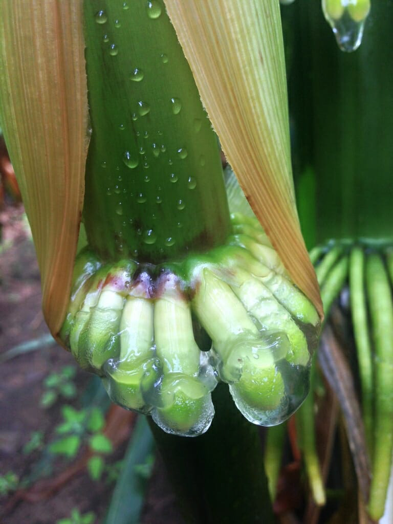 The corn can acquire 30 to 80 percent of its nitrogen in this way, but the effectiveness depends on environmental factors like humidity and rain.&nbsp;<em>Jean-Michel Ané (University of Wisconsin-Madison)</em>