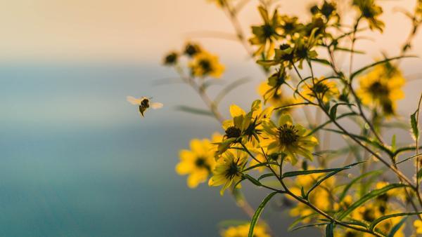 a single bee in a prairie