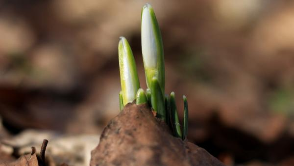 Budding hope