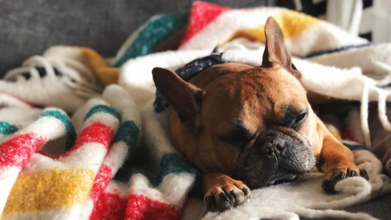 A french bulldog doing a snooze.