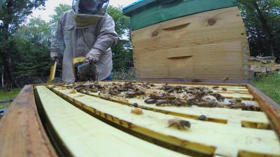 Russian Honey Bees