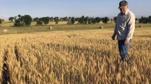Farmer surveys wheat field near Beulah, N.D., that should be twice as tall as it is