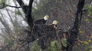 Eagles in a nest