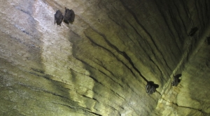 Bats hang from the ceiling of a cave