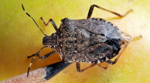 A brown marmorated stink bug compared with the tip of a pencil.