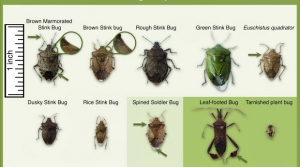 A chart comparing the brown marmorated stink bug with other stink bugs