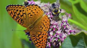 A Brushfooted Butterfly