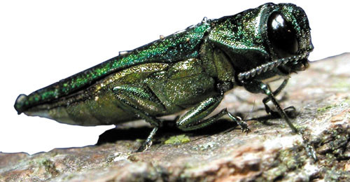 Emerald Ash Borer, photo by the U.S. Department of Agriculture via Wikimedia Commons