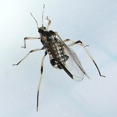 Giant Bark Aphid, image by Wikimedia Commons user Ilona Loser