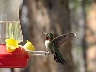 Ruby-Throated Hummingbird, photo by Michelle Lynn Reynolds via Wikimedia Commons
