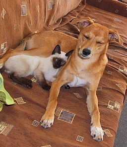 dog and cat, image by Wikimedia Commons user Arantz