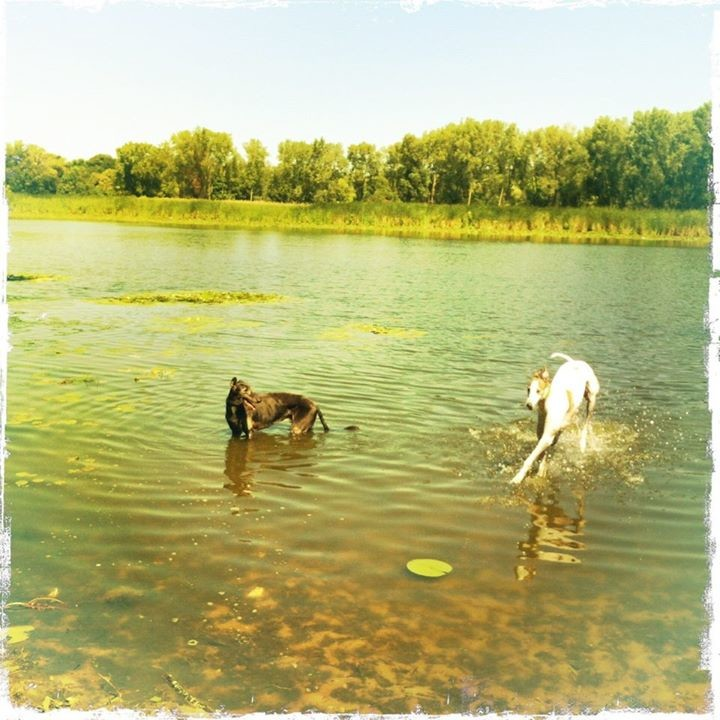 greyhounds taking a swim, photo by Vicky Selkowe, all rights reserved