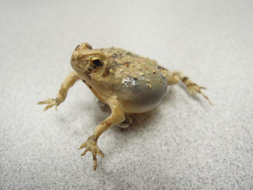 model frog