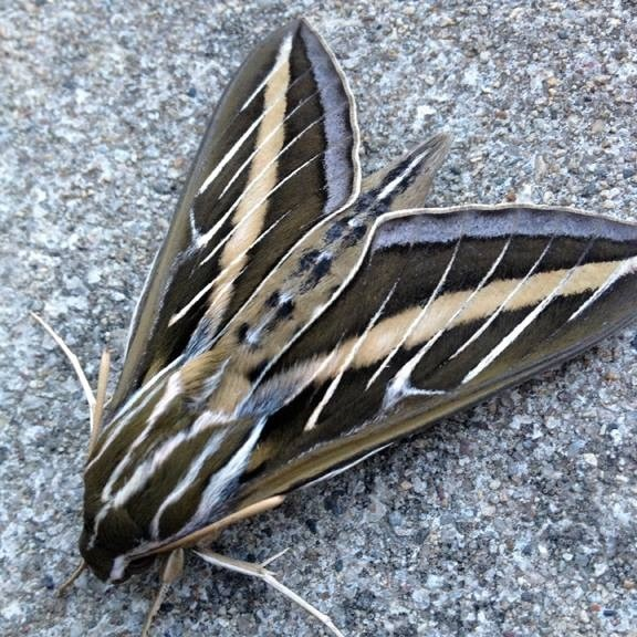 whitelined sphinx moth, photo by Gigi Becker