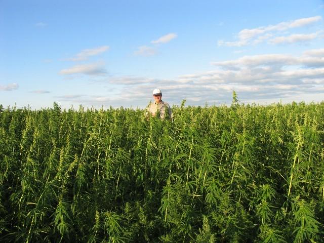 farmer in field of industrial hemp