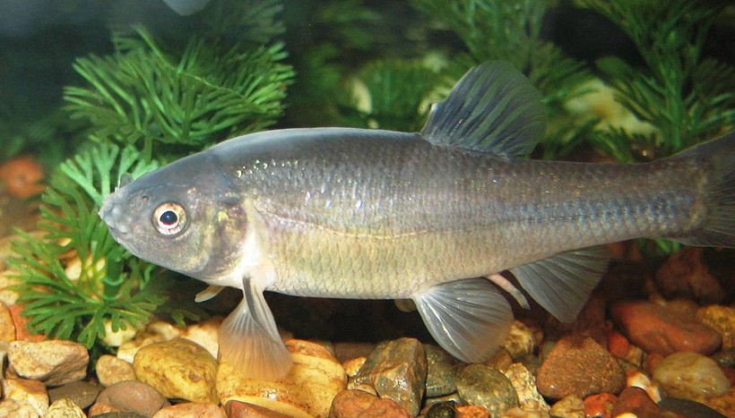 fathead minnow (breeding male)