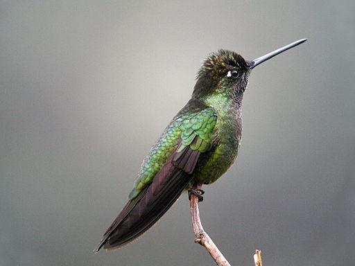 Hummingbird, Frank Vassen