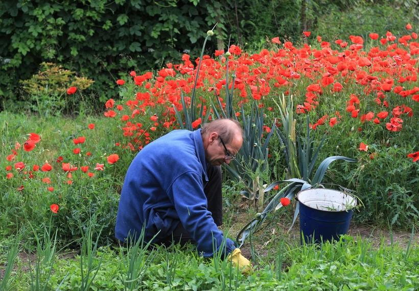 man weeding garden