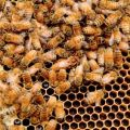Erin Clune on Urban Beekeeping