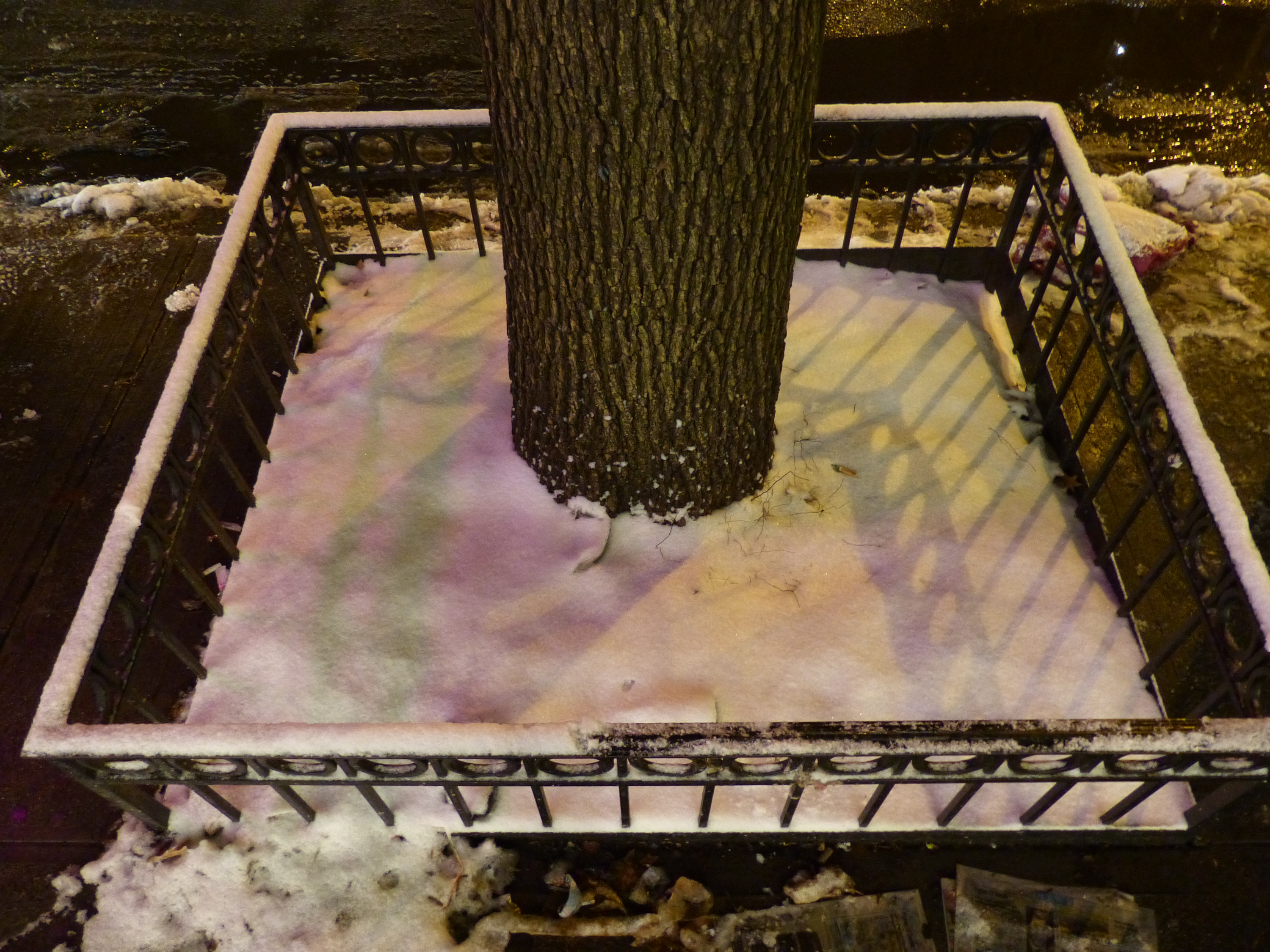 The Callery Pear tree in Manhattan, recorded by David Haskell (Photo via David Haskell)