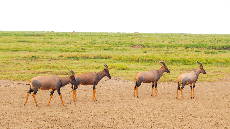 &nbsp;A herd of topi.<em> Steve Paulson (TTBOOK)</em>