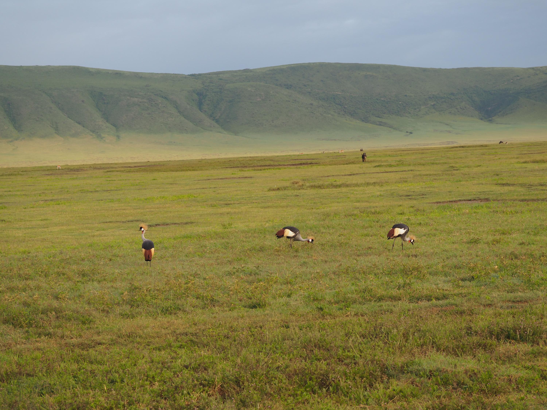 Grey crowned cranes in the Ngorongoro Crater.<em> Steve Paulson (TTBOOK)</em>