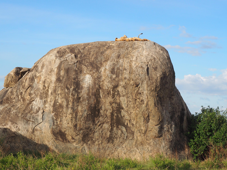 &nbsp;Lions napping on a kopje, a rocky outcrop of granite.<em> Steve Paulson (TTBOOK)</em>&nbsp;