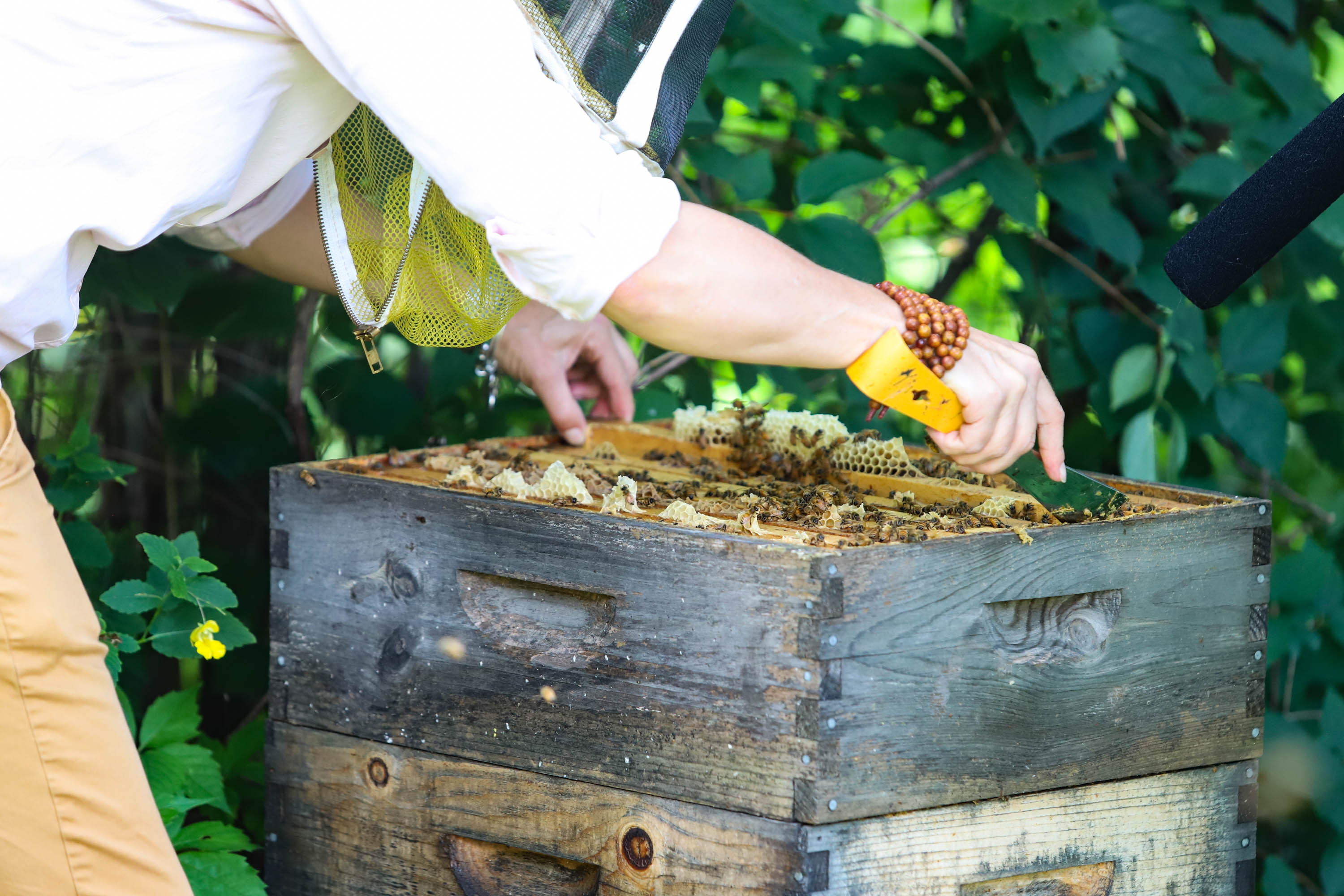 Heather opens the first level of her hive. The hive currently has around 60,000 bees. <em>Shannon Henry Kleiber (TTBOOK)</em>