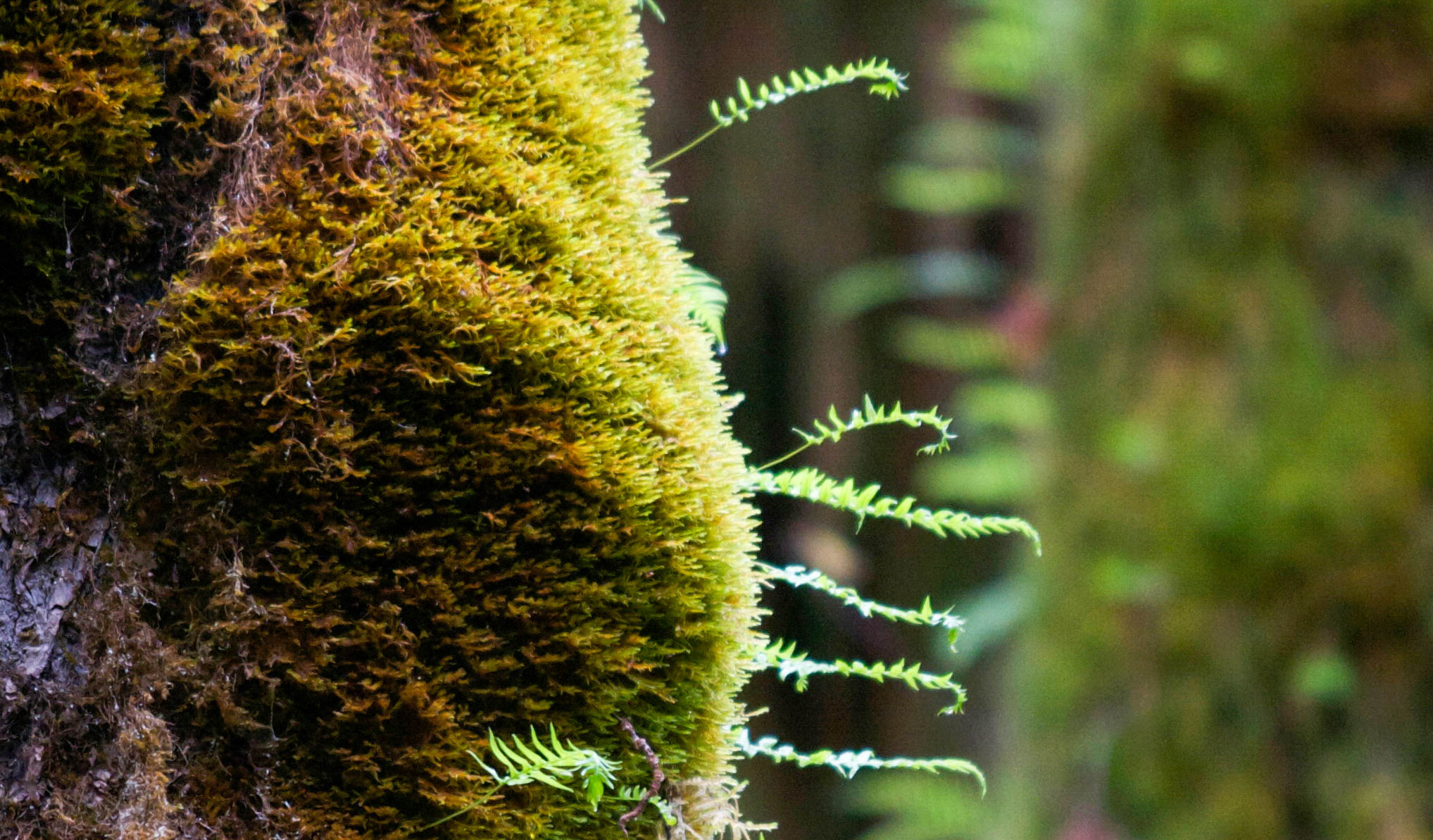 Epiphytes abound in the temperate rainforests of the Olympic National Park, Washington State, USA. <em>Amanda Castleman©</em>