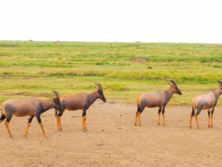 A herd of topi.