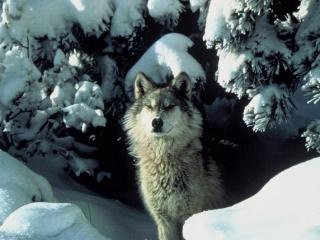 Northern Rocky Mountains wolf