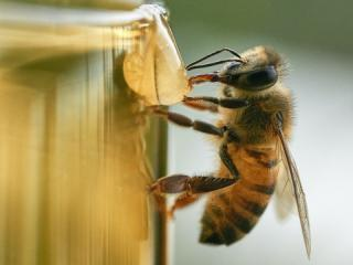 a honeybee