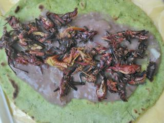 Taco with chapulines (grasshoppers) and beans
