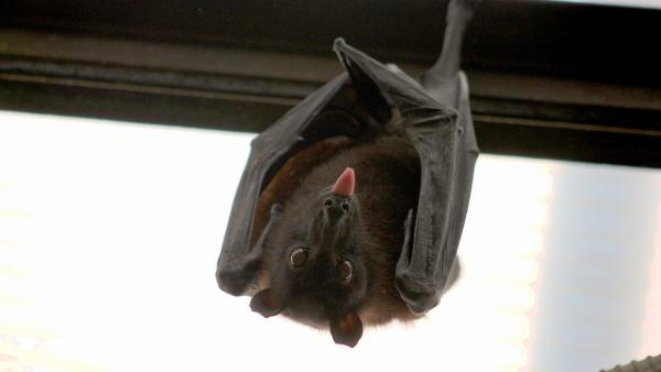 Bat hanging upside down and sticking out its tongue