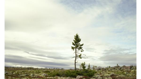 Spruce Grain Picea #0909-11A07 (9,550; Sweden) Rachel Sussman
