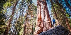 A tree in Sequoia National Forest