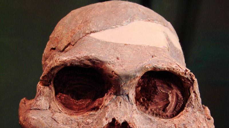 Australopithecus africanus at the University of Zurich.