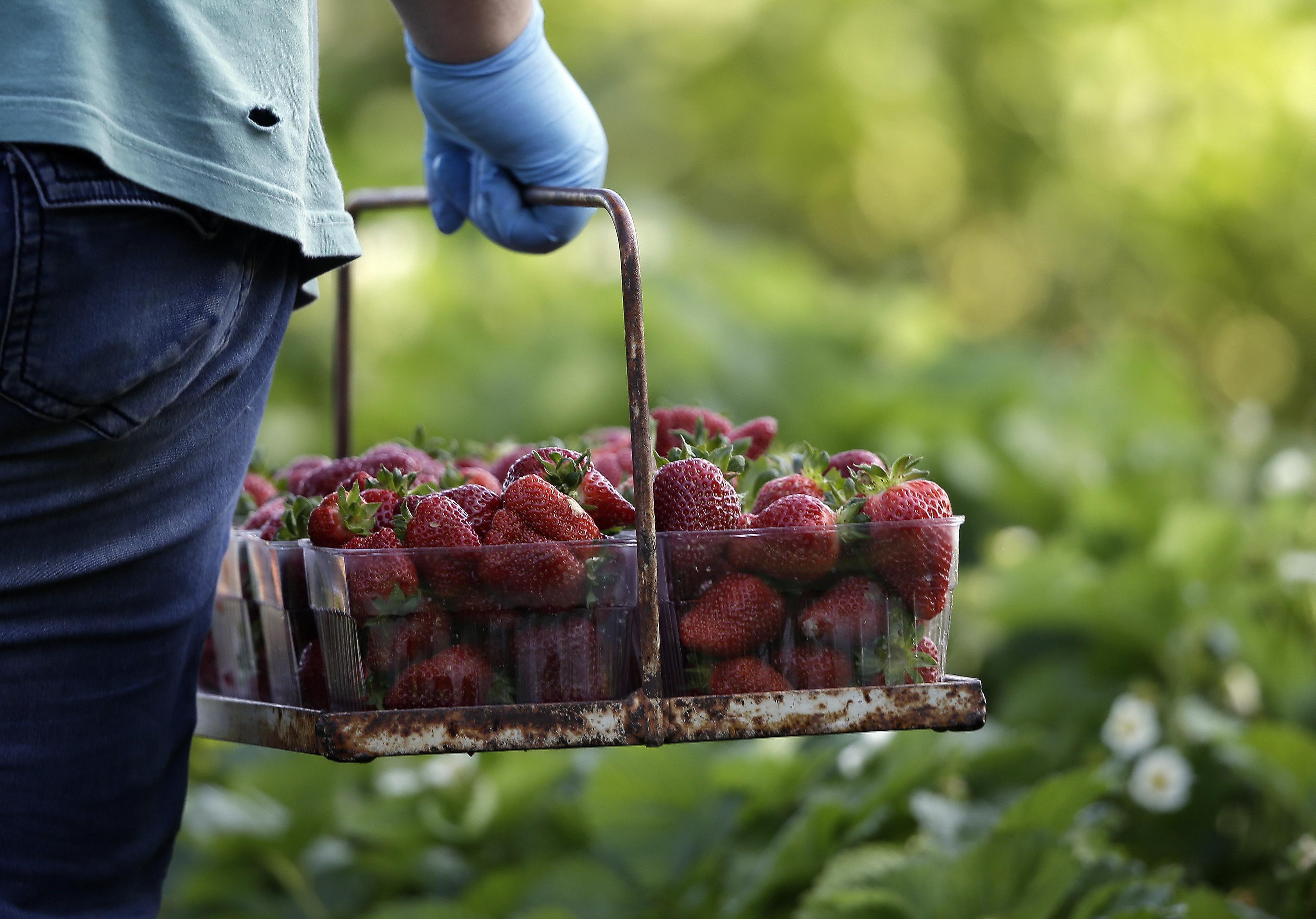 strawberry season, picking, bucket