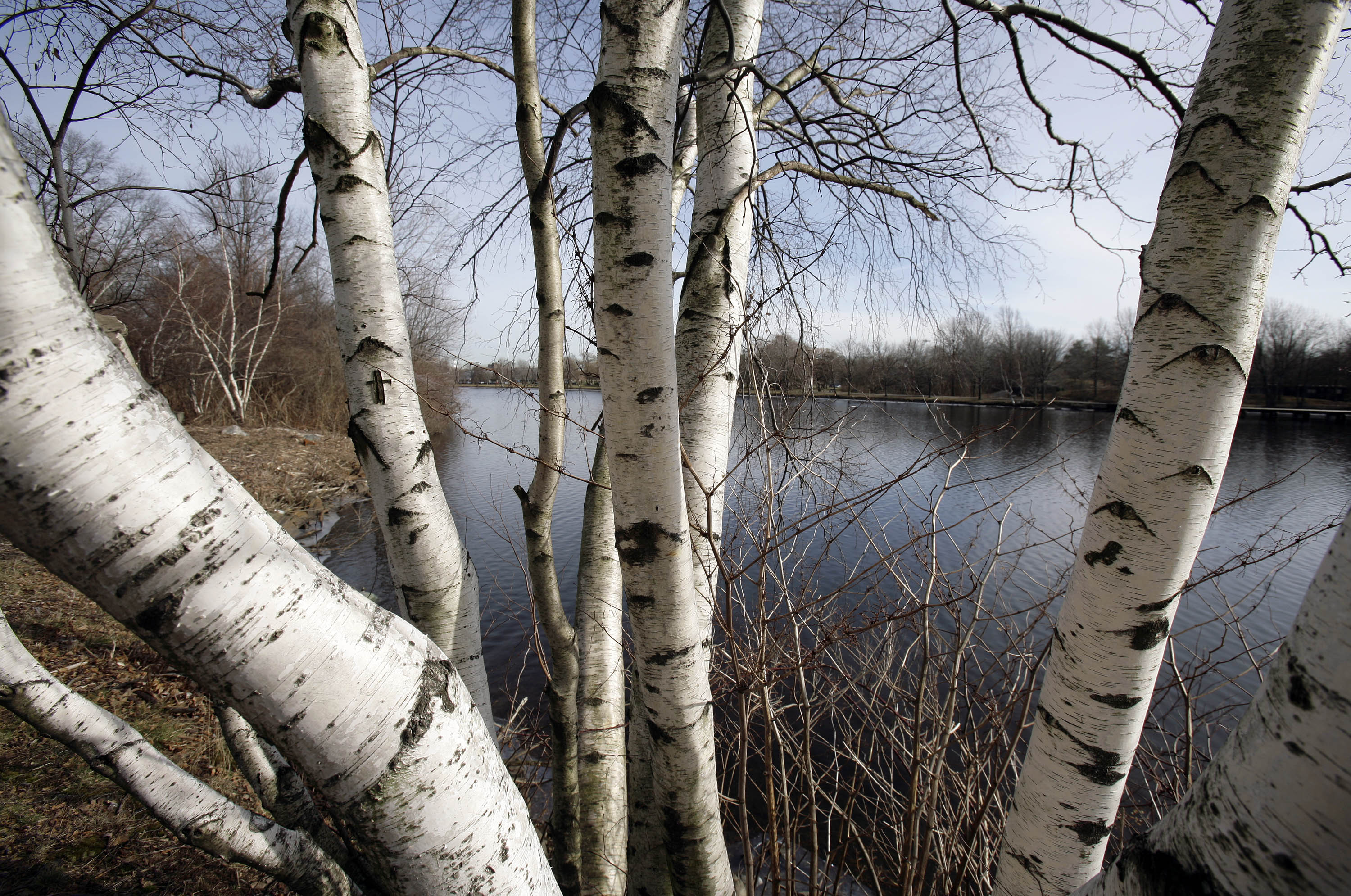 Stealing Birch From Northern Wisconsin Forests Is 'New Trend' | Wisconsin  Public Radio