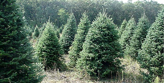 christmas tree farms doing quite well wisconsin public radio - Origin Of Christmas Tree