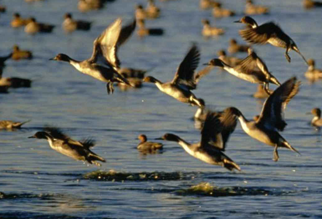 More Lakes Approved For Open-Water Duck Hunting ...  Flock